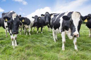 Koeien in Tipperary