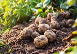 Aardappels op het veld