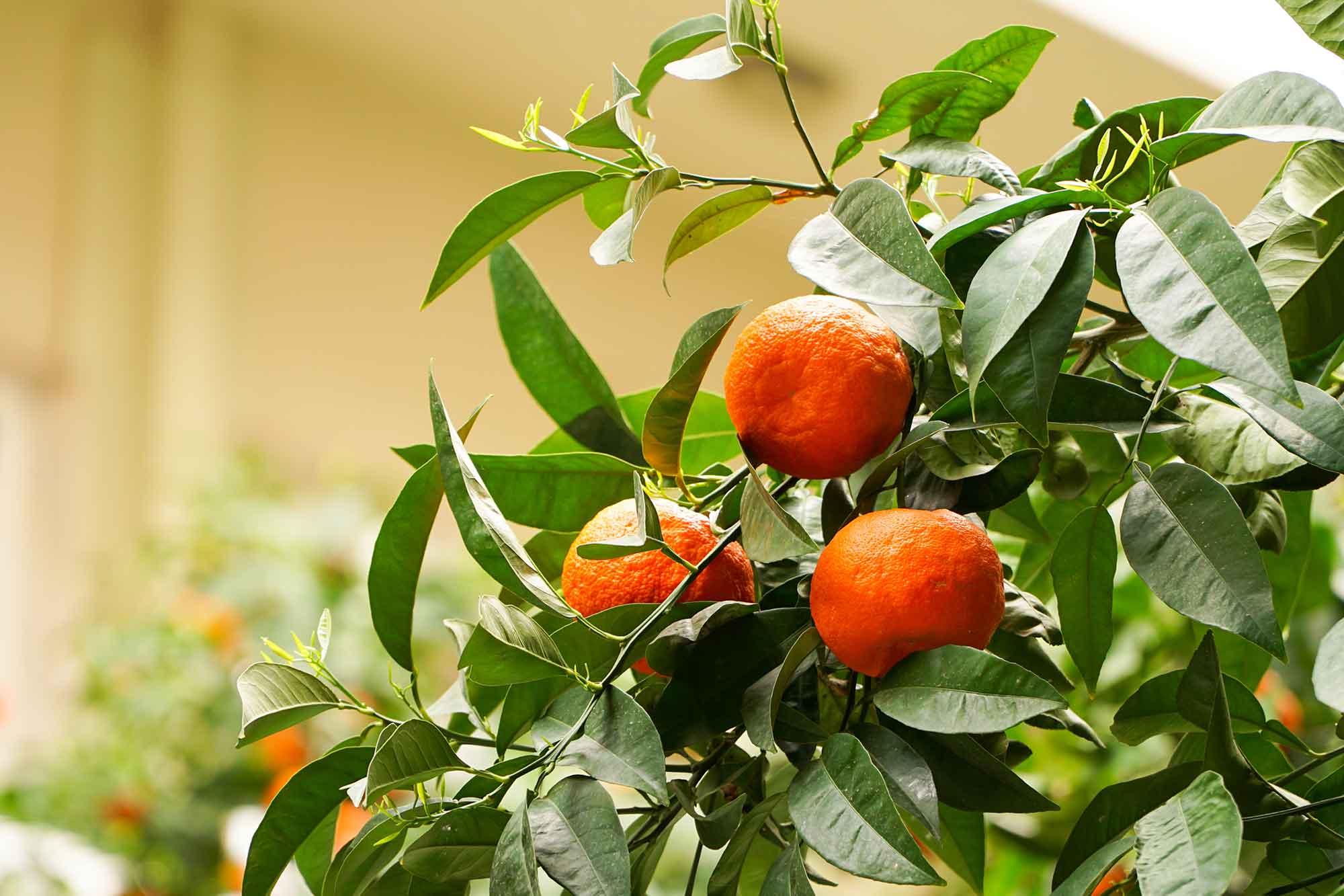 Bittere sinaasappels in Athene
